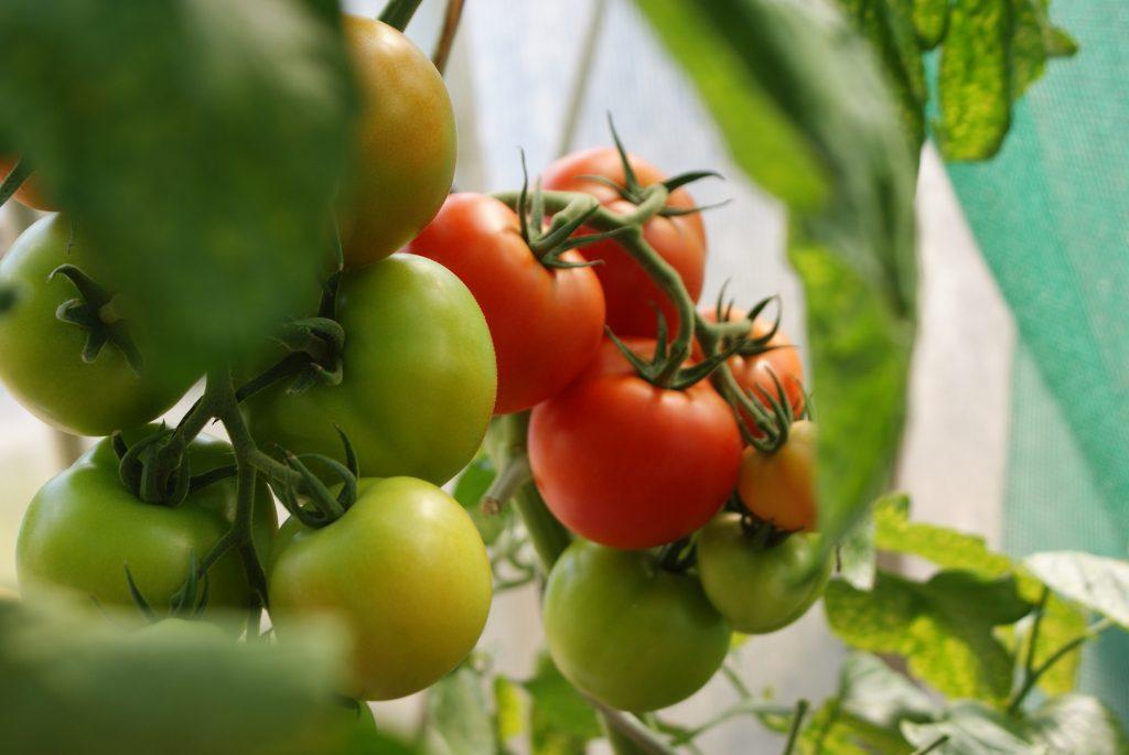 Gros plan sur des plantations de tomates